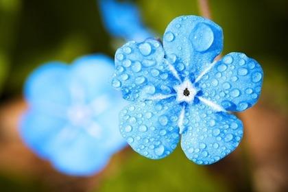 青い花についたしずく