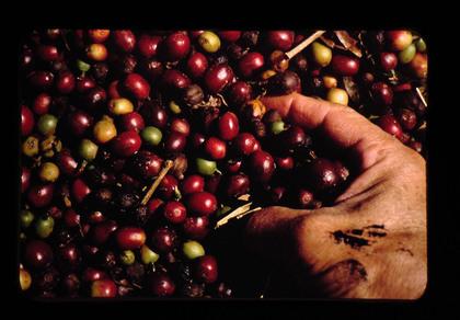 コンビニのホットカフェラテで使うコーヒー豆