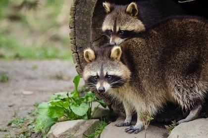 穴から出てきた2匹の狸