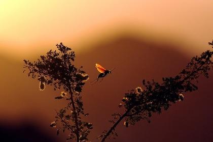夕暮れの蜂