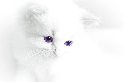 ふわふわの白猫