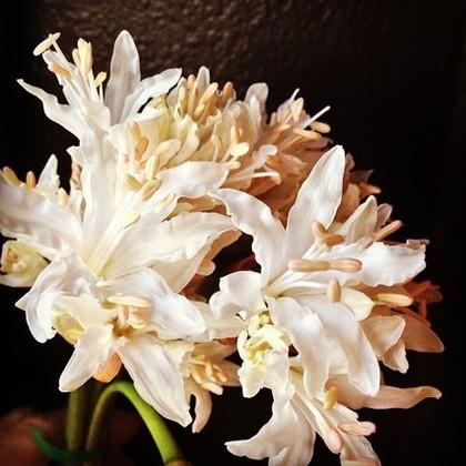 リリーの花