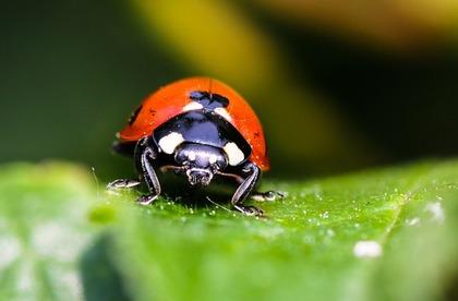 てんとう虫の正面