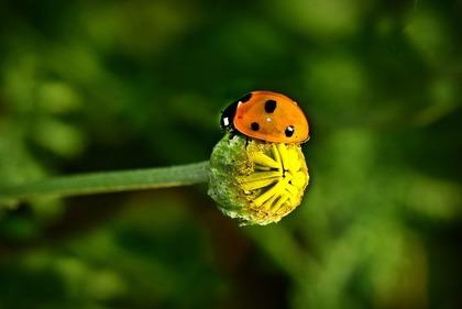 蕾とてんとう虫