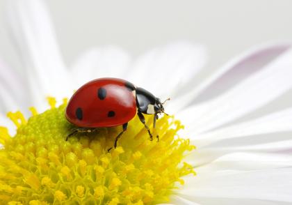 花とてんとう虫