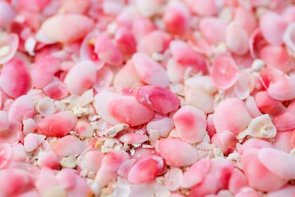 ピンクの貝